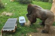 Moselle : des smartphones récupérés par une Entreprise Adaptée au zoo d'Amnéville pour sauver les gorilles